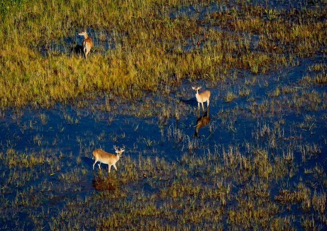Deer in the Loxahatchee National Wildlife Refuge as seen from a South Florida Water Management research flight in April 2019. BRUCE R. BENNETT / PALM BEACH POST
