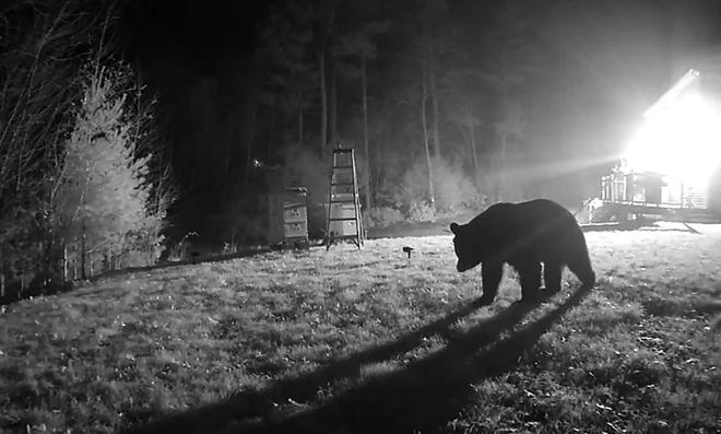 By changing the aim of their surveillance video cameras, the Seaveys were able to record the black bear that visited their Hopkinton yard repeatedly.