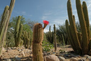 A flower blooms on a barrel cactus at the new Wallace Desert Garden at Boyce Thompson Arboretum.