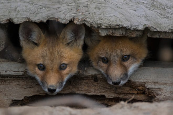 Fox pups looking out under barn hideout.