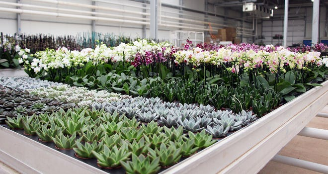 Colorchids is housed in a 63,000-square-foot greenhouse in Nocona, Texas.