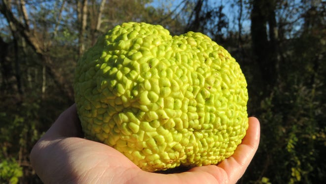 A fruit from an Osage orange tree found on the ground along Whig Street in Dennis.
