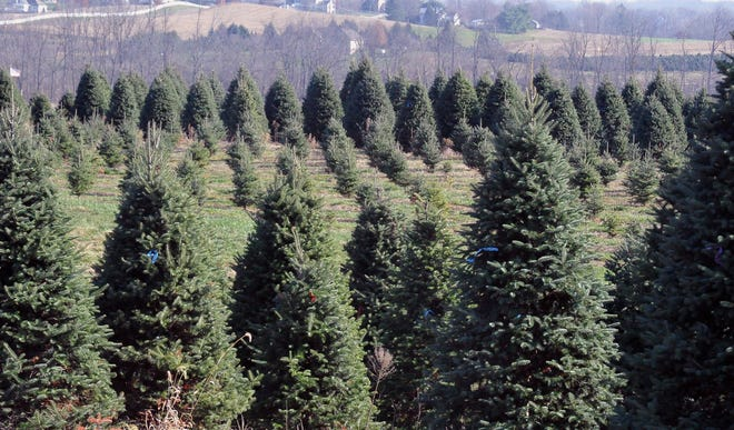 The Pine Tree Barn has Christmas trees of all kinds and sizes at its two locations ready to cut and take home for the holiday.