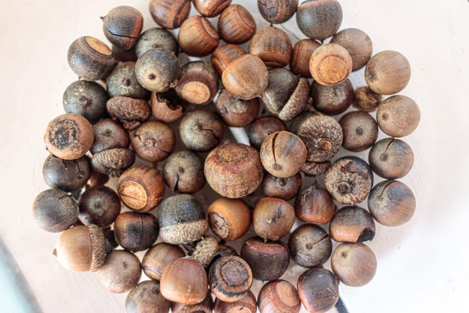 """For the Darwinian Gardener, this has been a """"mast year"""" for oak acorns."""