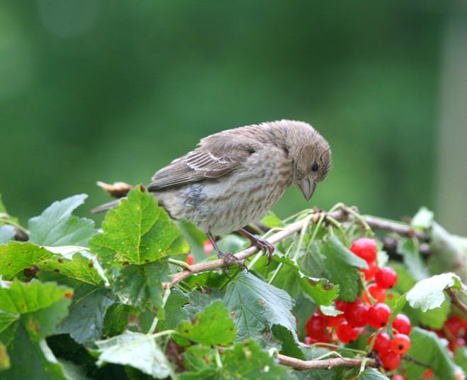 A pine siskin eyes some berries in this summer photo by reader Janie Ferguson.