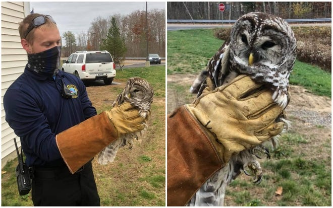 Animal Control Officer Forrest Brenske in York, Maine, is helping this owl get to The Center for Wildlife in Cape Neddick after a member of the public brought the animal to the York Police Department to report the creature had been struck by a vehicle.