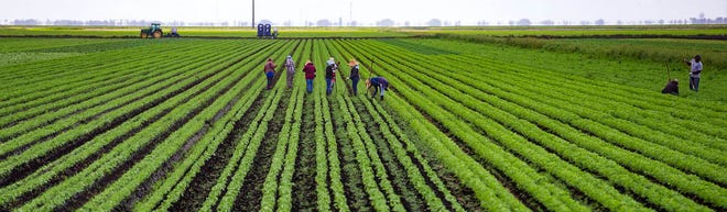 Workers for Roth Farms tend to rows of lettuce in this March 24, 2020 photo in Belle Glade. [ALLEN EYESTONE/palmbeachpost.com]