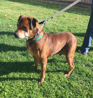 Handsome Buddy is a strong-but-gentle fellow who is very loving and affectionate.