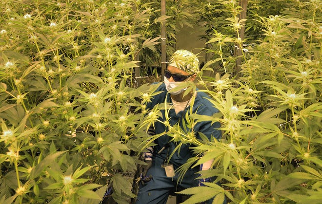 A worker prunes marijuana plants in a brightly lit grow room in Garden Remedies in Fitchburg in a 2018 file photo.