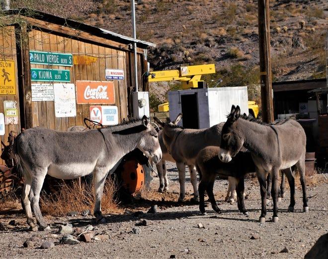 Burros are everywhere in Oatman, Arizona.