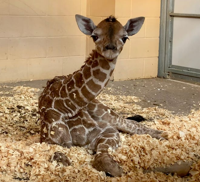 """The Abilene Zoo announced Friday a third baby giraffe has been born there. A """"gender reveal"""" is scheduled for Friday, Nov. 20."""