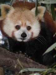 Adopt a red panda like Luna at the Cape May Zoo and receive a plush animal in its likeness.