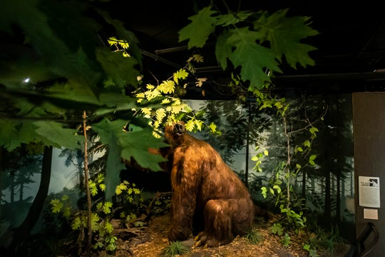 A giant ground sloth Megalonyx jeffersonii nicknamed Rusty in an exhibit at the University of Iowa Museum of Natural History is seen, Wednesday, Nov. 11, 2020, at Iowa Hall on the University of Iowa campus in Iowa City, Iowa.