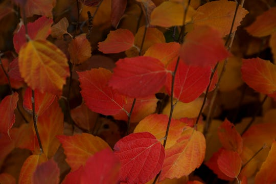 Dwarf fothergilla displays vibrant fall colors at The Oregon Garden in Silverton, Oregon on Thursday, Nov. 12, 2020.
