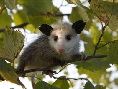 A baby opossum.