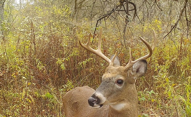 A whitetail buck at the licking branch.