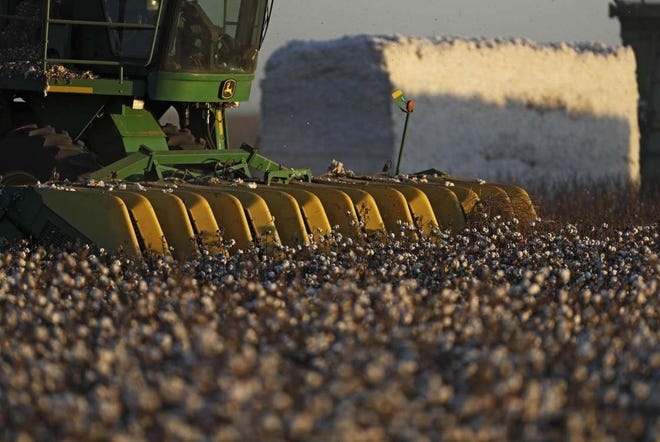 Cotton strippers harvest the plants near Shallowater, Texas.