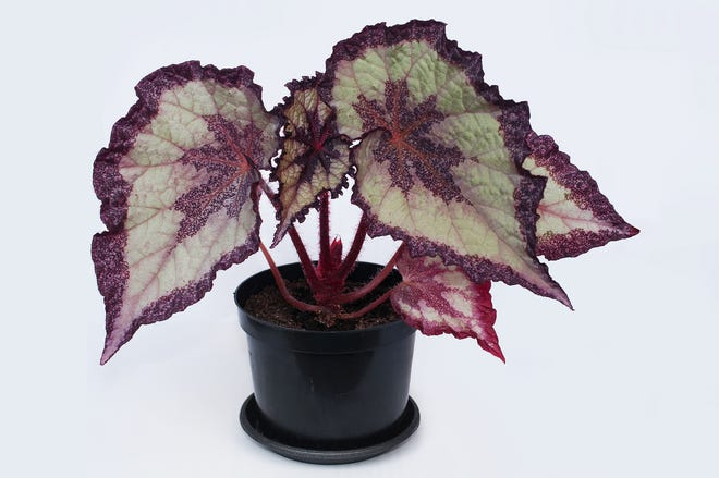 Rex begonias are known for their beautiful foliage.