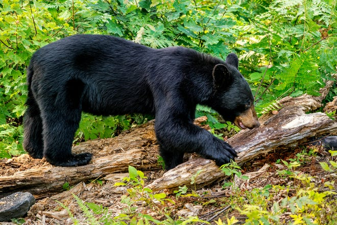 A black bear checking an ant log for food.