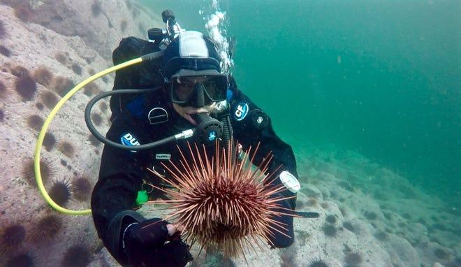 FSU assistant professor in the Department of Biological Science Dr. Daniel Okamoto holds up a sea urchin.
