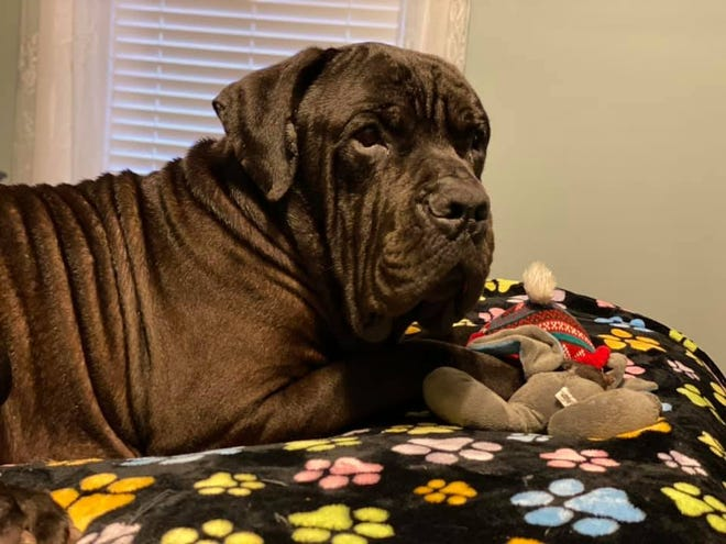 Giovanni Cannoli's rolls on his back, typical of his breed lead inspired the Cannoli part of his name, said owner Michele Allen.
