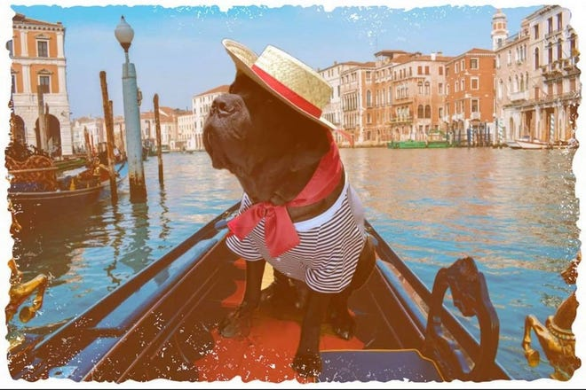 Giovanni Cannoli is seen in his social media photo in a gondola in Venice. The Italian bread of a mastiff, is also known known by the American Kennel Club as a cane corso. He was found abandonded in Fall River and was adopted by the Allen family through Forever Paws animal shelter.