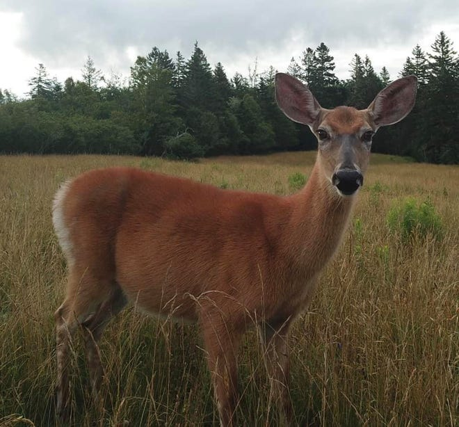 A white-tailed doe in Addison, Maine, looks straight into the camera of Everett Grant's drone.