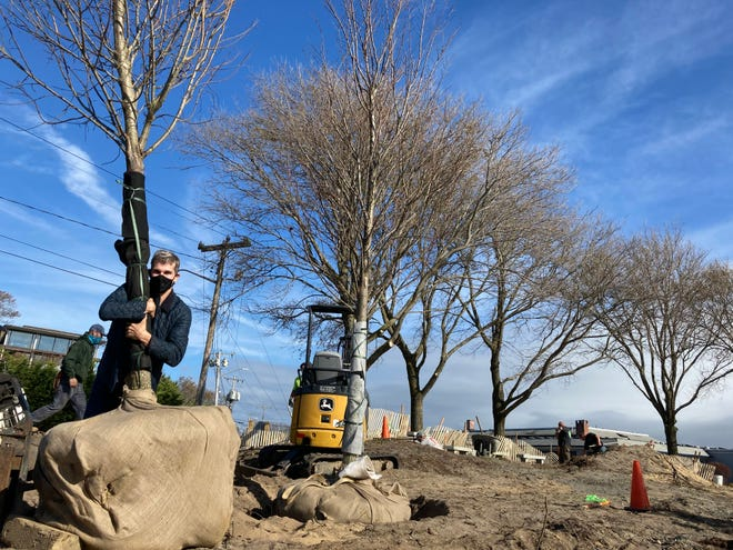 Provincetown resident Christopher Mathieson hugs the Princeton elm tree he bought in memory of his sister, Carolyn Mathieson Bedford. The tree and another he bought in memory of John Crowley arrived on Nov. 11, 2020 at Pilgrims' First Landing Park in Provincetown, to be part of a renovation underway at the park.