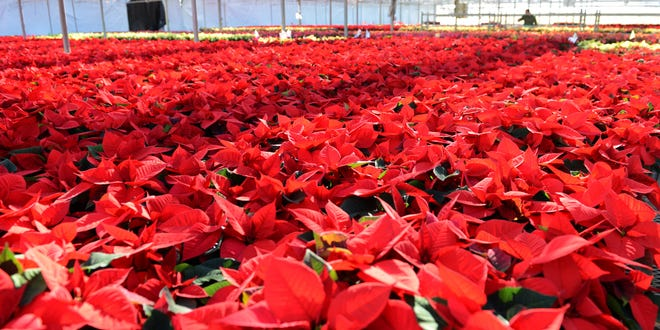 Thousands of poinsettias grown at Natural Beauty Growers greenhouse just east of Denmark will be for sale at the 46th annual Denmark Lions' poinsettia sale on Nov. 29, but this year's event has been moved to Denmark High School.