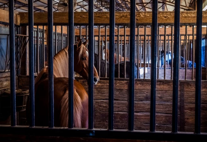 Tennessee Walking Horses stand in their stalls at the Rising Star Ranch on Sunday, Nov. 15, 2020 in Shelbyville, Tenn.