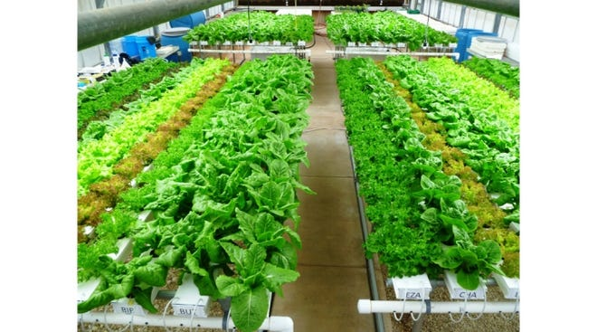 Twelve cultivars of bibb, loose-leaf and romaine lettuce being grown hydroponically using the nutrient film technique. Most lettuce in Texas is grown in greenhouses like these.