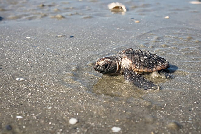 A loggerhead hatchling makes its way to the surf at Botany Bay Plantation Heritage Preserve.