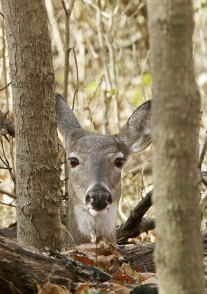 A doe hides in a thicket of brush at Jeffrey Park in Bexley on Nov. 10.