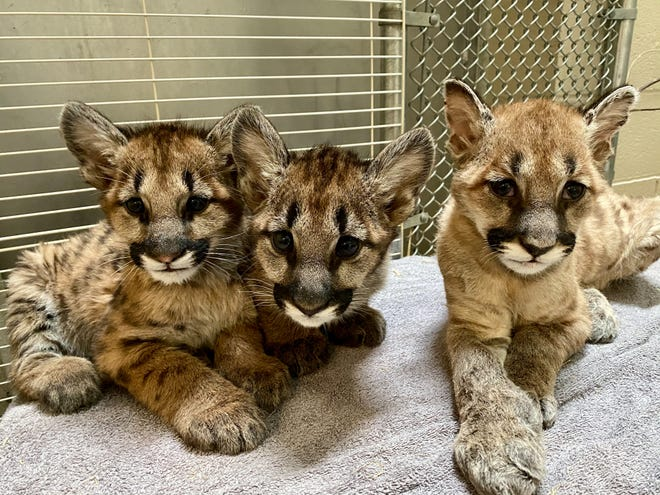 Three orphaned mountain lion cubs rescued from California wildfires will be heading to the Columbus Zoo and Aquarium in the next few weeks.