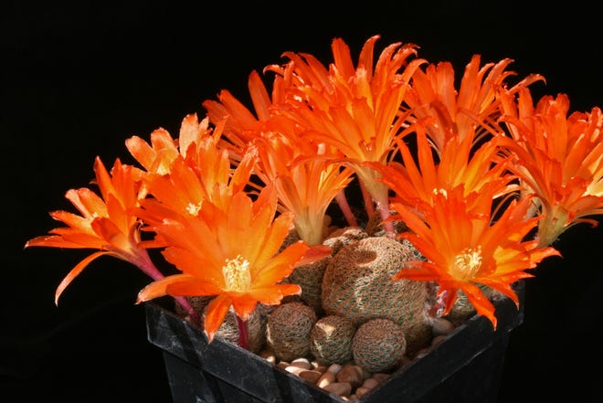 A patch of Rebutia helios cacti displays flowers that are several times larger than each tiny cactus that produced them.