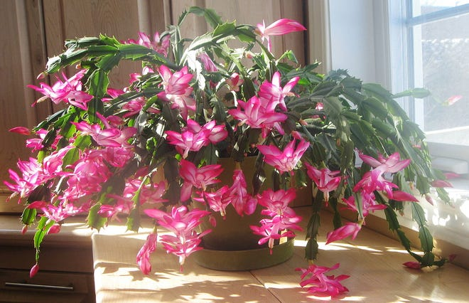 A Thanksgiving cactus blooms heavily after basking for months in the bright light of nearby windows.