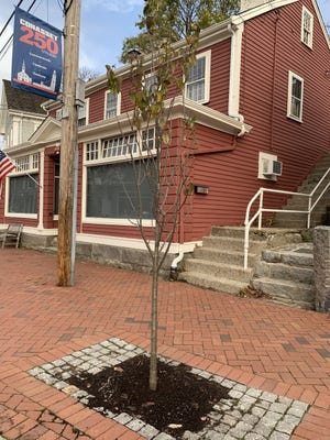 Local business owners came together to donate a new lilac tree in the Village in honor of Cohasset's 250th anniversary.