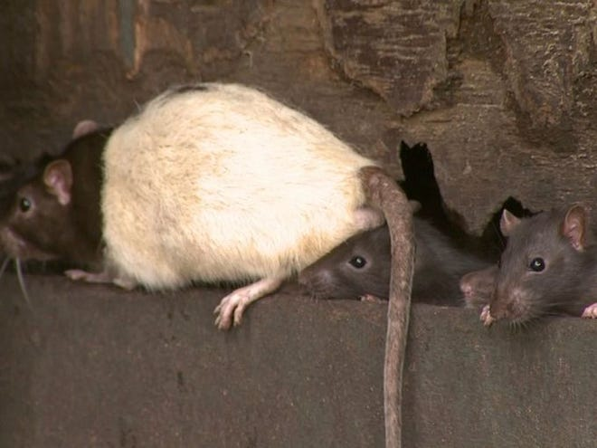 Rats are coming into our homes.