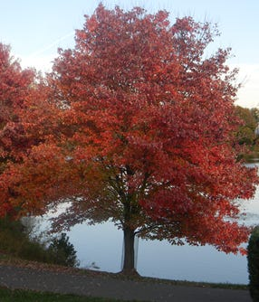 Red maple trees don brillant colors in the fall. https://commons.wikimedia.org/wiki/File:Red_maple.png
