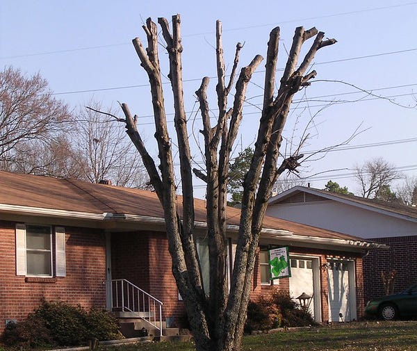 Does 'topping' a tree kill it?