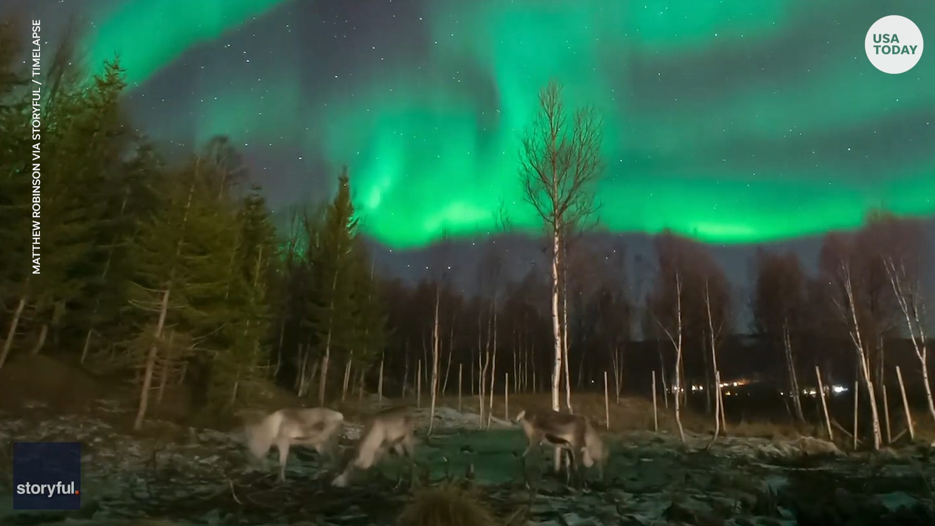 Reindeer unfazed by northern lights flickering above them