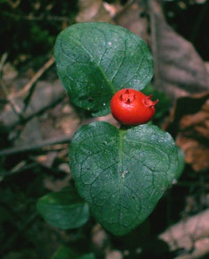 This mystery plant received its scientific name from Carolus Linnaeus, the father of plant taxonomy.