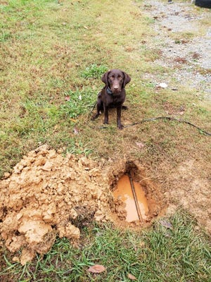 Davidson Water has hired two local dog trainers with Cultured Canine to teach Puddles, a chocolate labrador retriever, to locate underground water leaks through smell. Puddles in only the second dog in the United States to be trained to do this, according to a Davidson Water official.