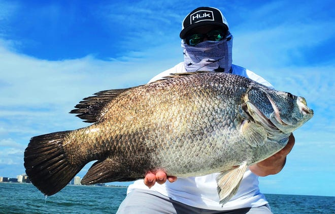 Steve Brownlee, who was visiting from West Palm Beach, caught this tripletail near Ponce Inlet over the weekend.