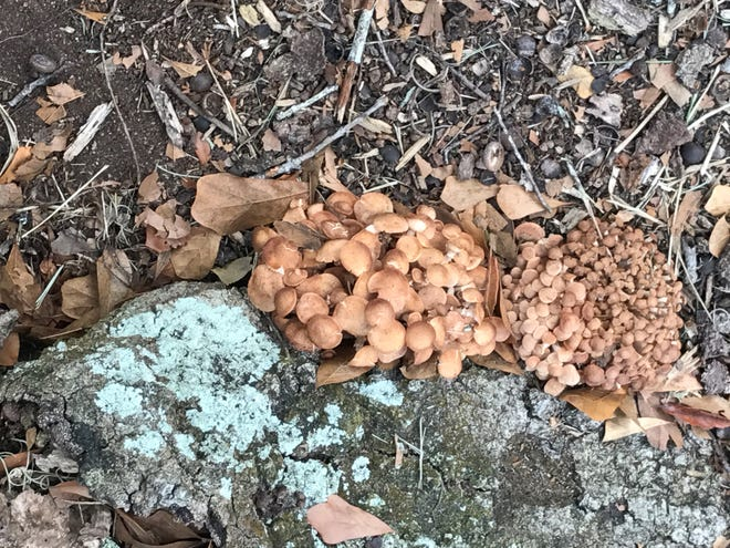 Mushrooms caused by the Armillaria fungus form at the base of a tree.