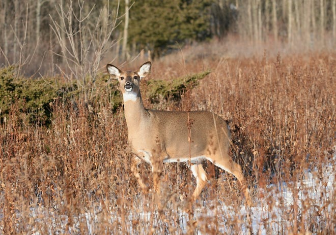 Does produce more deer, so that needs to be the focus on management of herds.