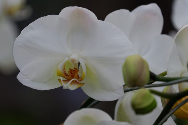 Do not let orchids completely dry out. How often you water depends on factors such as how bright their growing conditions are, how humid and how warm it is.