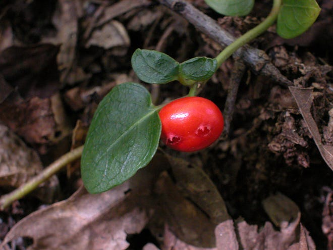 Partridge berry fruits remain on the plant all winter long and then a new crop of flowers will open next season