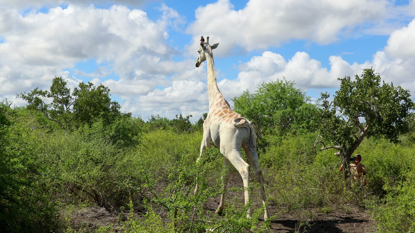 World's last known white giraffe fitted with GPS tracking device to prevent poaching – USA TODAY