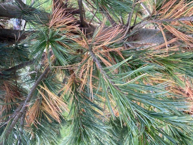 A white pine shows evidence of browning on needles. [Laura Murphy/Penn State Master Gardeners]